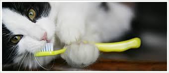 cat teeth cleaning cat dental care cat hygiene greenies