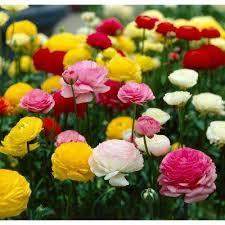 ranunculus flower bulbs garden plants flowers the home depot