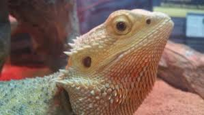 crusty nose help bearded dragon org