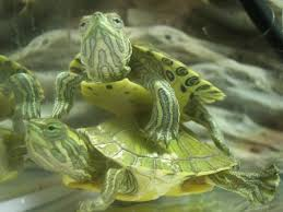 Turtle Shell Not Shedding Properly by Is My Turtle Shedding Big Pond Turtle Forum