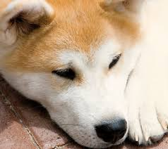 Do Akitas Shed Bad by Learn About The Akita Dog Breed From A Trusted Veterinarian