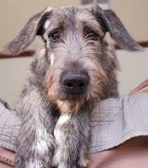 Irish Wolfhound Non Shedding by Irländsk Varghund That Dream Pinterest Wolfhound Irish