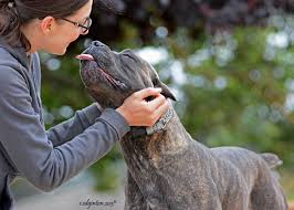 Do Bullmastiffs Shed A Lot by 10 Things Only A Cane Corso Owner Would Understand American