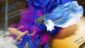 African Dwarf Frog Shedding Or Sick by Do Betta Fish Shed Shipping Live Fish Striking Images Reveal How