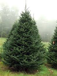 What Is The Best Christmas Tree Variety by Christmas Trees Balsam Fir Jones Family Farms Shelton Ct