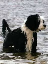 Portuguese Water Dog Non Shedding by Domarco Pwds Real Life With The Portuguese Water Dog