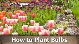 princess irene tulip bulbs groworganic