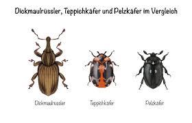 käfer in der wohnung bestimmen und bekämpfen
