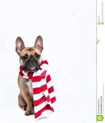 dog in red and white holiday scarf isolated on white stock photo