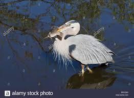 Great Blue Heron Walking With Freshly Caught Tilapia Fish