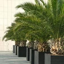 prix des palmiers exterieur plantes méditerranéennes plantes et jardins