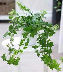 baldur garten efeu 1 pflanze luftreinigende zimmerpflanze hängepflanze hedera helix