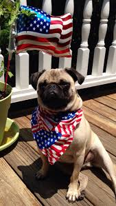 Do Pocket Puggles Shed by 544 Best Dogs Puppies U0026 Diy Things Images On Pinterest Animals