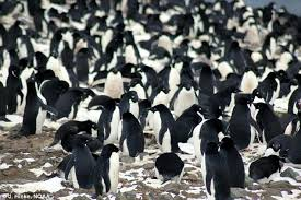 scientists track penguin migration routes using feathers daily