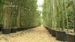 entretien des bambous en pot vidéo comment réussir la plantation du bambou en pot truffaut tv