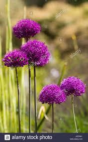 early summer flower heads of the ornamental bulb allium purple