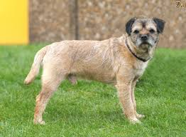 border terrier dog breed information buying advice photos and