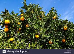 Orange Tree With Fruit Citrus Sinensis