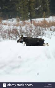 Bull Moose Shedding Antlers by 100 Bull Moose Shedding Antlers There Is Something Special