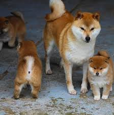 30 of the happiest facts shiba inu shiba inu puppies and
