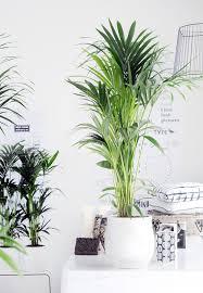 zimmerpflanzen porträt kentia palme kentiapalme das haus