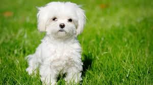 No Shedding Dog Breed by 15 Dog Breeds That Don U0027t Shed Much Barking Royalty