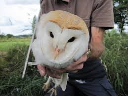 Denbighshire Countryside Service - Barn Owl Tasmian Masked Owl Wikipedia Sylvierland Moments And Thoughts Owl In Front Of The Farmer Writes Threats To Barn 13 October 2015 Free Barn New Zealand Birds Online Tyto Alba Species Owls Have Nesting Bonanza Region Npareilonlinecom How Find Photograph Owls Bird Photography Audubon Ms De 25 Ideas Increbles Sobre Sounds En Pinterest Kansas Citys Get All The Help They Need At Lakeside Nature Australia Australian Geographic Local Wildlife Landscape Our Local Voice