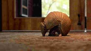 Armadillos In Tennessee: Expanding Range Brings Fears Of Leprosy