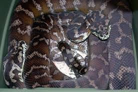 Coastal Carpet Python Facts by Morelia Irian Jaya Carpet Python Page Morelia Spilota Varigata