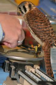 Learn All About Weight Management And Weighing The Birds