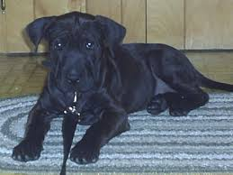 Do Shar Peis Shed Hair by Lab Pei Shar Pei X Lab Mix Temperament Training Puppies Pictures