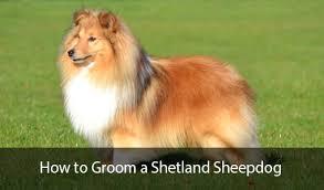 how to groom a shetland sheepdog feature jpg