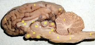 midsagittal sheep