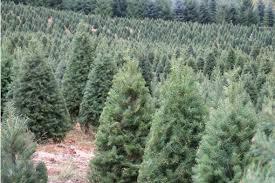 Douglas Firs Being Grown On A Christmas Tree Farm