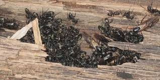 Flying Ants In Bathroom Sink by Problems With Carpenter Ants Muskoka Pest Control
