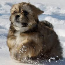 lhasa apso puppy shedding 34 best lhasa apso images on lhasa apso puppies