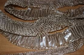 Shed Snake Skin Pictures by Complete Moroccan Cobra Snake Shed Skin 77