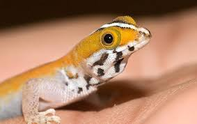 Do Leopard Geckos Shed by The Amazing Gecko 20 Interesting Facts About The World U0027s Most