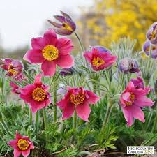 61 best Pulsatilla images on Pinterest