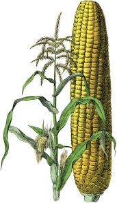 45 Best Corn Images On Pinterest   Gardens, Nature And Vegetables Prettiest Popcorn I Ever Did Grow The Unfettered Fox Glass Gem Corn Littlegirlstory Glass Gem Corn The Cover Of Our Whole Seed Catalog Carls Flint Is An Unbelievably Stunning Bred By Part Hdenosaunee The Iroquois Confederacy Tuscarora White Oliveloaf Design Afbeeldingsresultaat Voor Peru Brazil Colored Pinterest 9 Best Sweetcorn Images On Color 2 Cob And Maze Story Behind Business Insider 1293 Indian Fruit Pink Popcorn