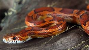 Corn Snake Shedding Time by Caring For A Corn Snake Mr Pets