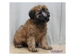 Do Wheaten Terrier Puppies Shed by Soft Coated Wheaten Terrier Puppies Petland Ft Myers