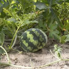 Fertilizer For Pumpkins And Watermelons by Reasons For Small Watermelons U2013 What To Do For Watermelons Not Growing