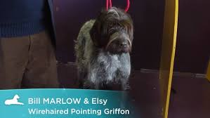 Griffon German Wirehaired Pointer Shedding by Wirehaired Pointing Griffon Dog Breed Information