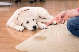 qui pisse sur le canapé comment enlever l odeur et les taches d urine de chien