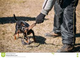 Do Miniature Doberman Pinschers Shed by Miniature Pinscher Dog Training Biting Zwergpinscher Min Pin