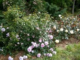 spacing when planting roses paul zimmerman roses