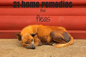 Quick Home Reme s For Fleas