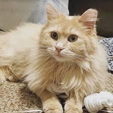 Tuxedo Cats For Adoption In Falls City Nebraska PetCurious