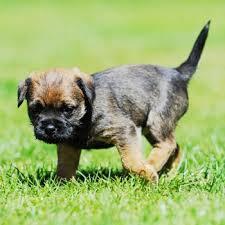 border terrier breed information characteristics heath problems